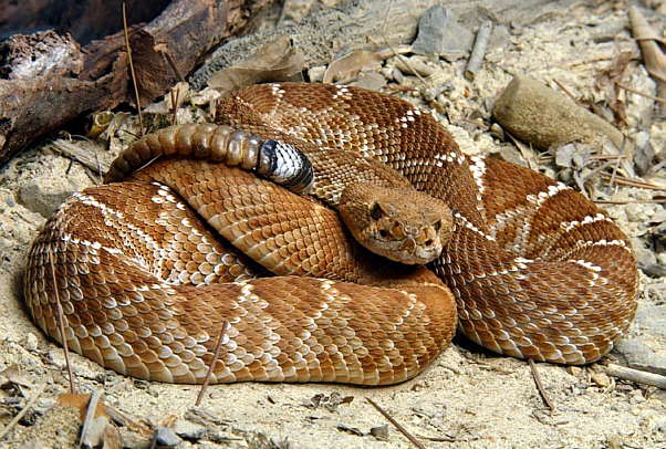 Serpiente-jarretera-culebra-rayada-630x481